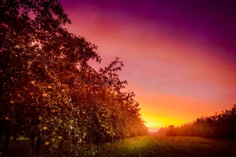 Pomar de Apple e um por do sol surpreendente imagem de stock