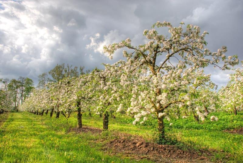 Pomar de Apple na flor imagens de stock royalty free