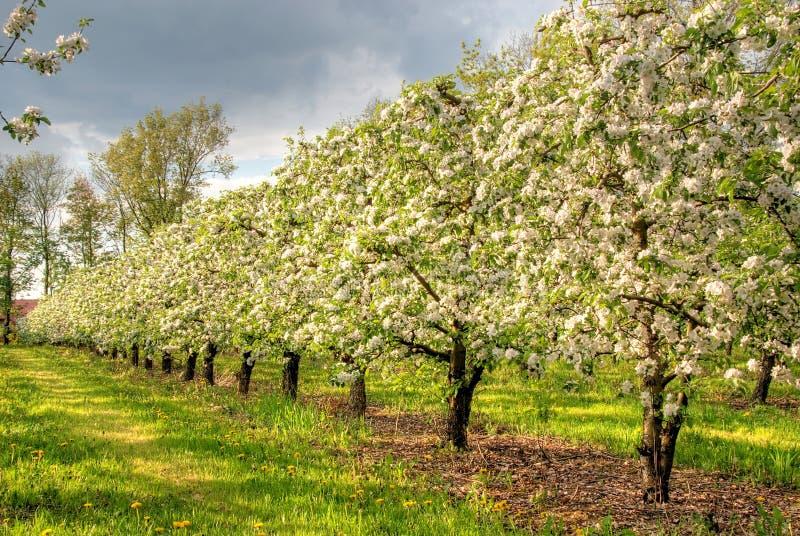 Pomar de Apple na flor imagens de stock