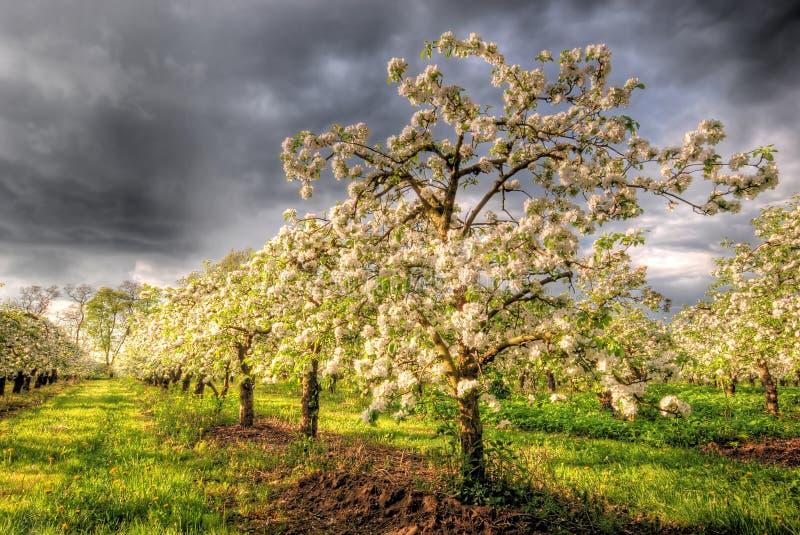 Pomar de Apple na flor foto de stock royalty free