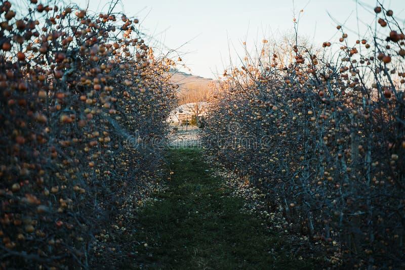 Pomar de Apple na primavera fotografia de stock royalty free