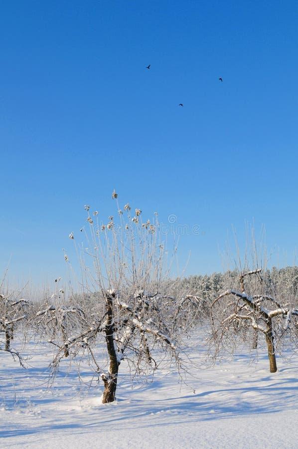 Pomar de Apple no inverno imagem de stock