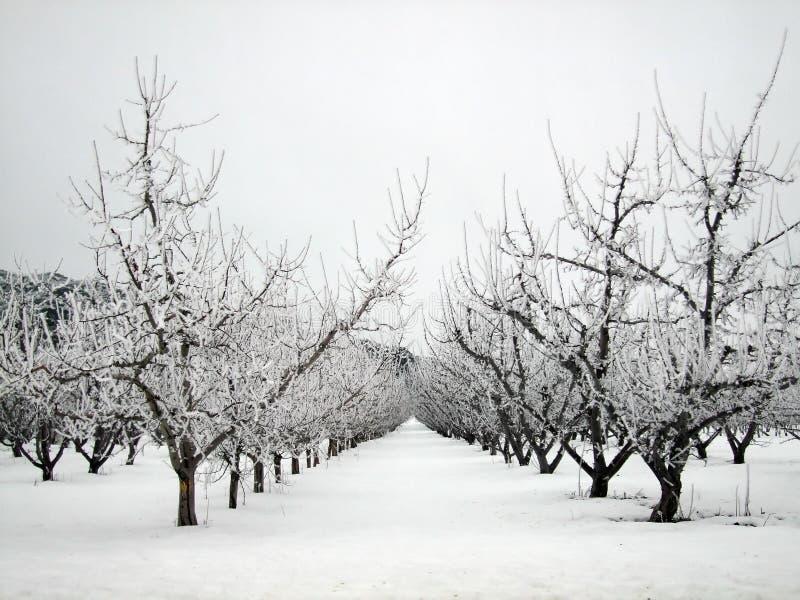Pomar de Apple no inverno imagem de stock royalty free