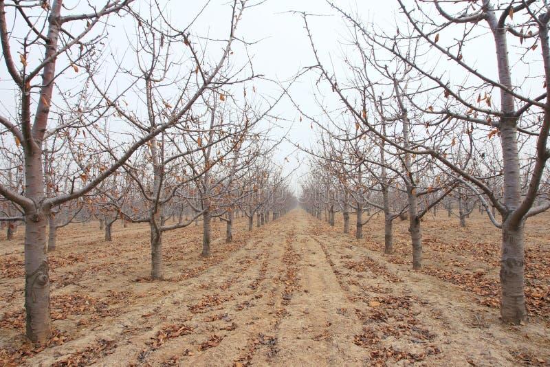 Pomar de cereja do inverno foto de stock