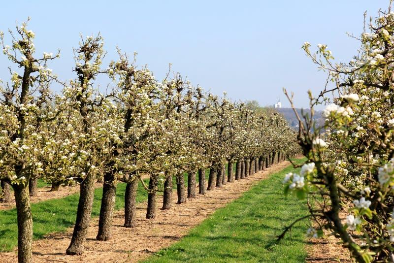 Pomar de cereja holandês na mola fotografia de stock royalty free