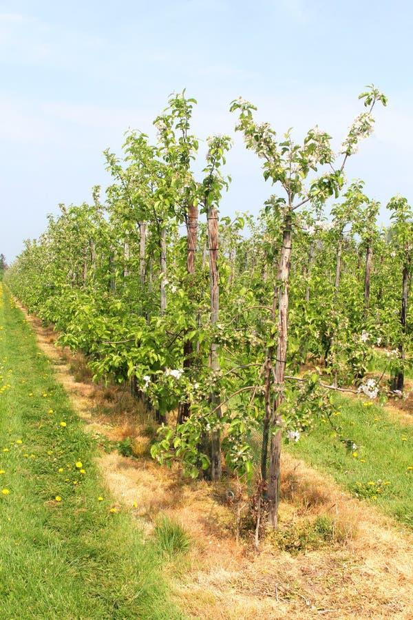 Pomar de fruto holandês no Betuwe, Holanda foto de stock