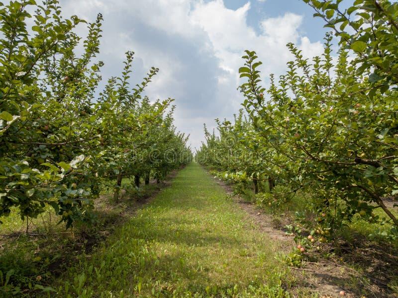 Pomar de maçã agrícola antes da colheita contra um fundo do céu nebuloso imagem de stock royalty free