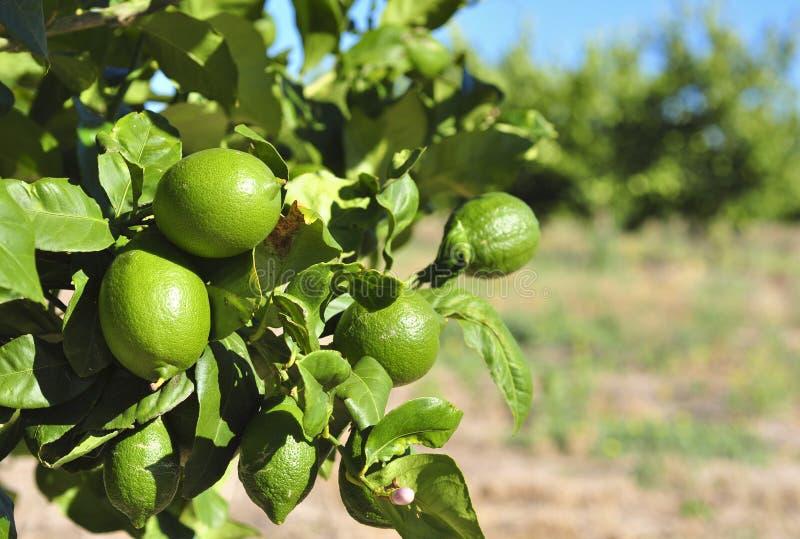 Pomar do limão fotos de stock royalty free