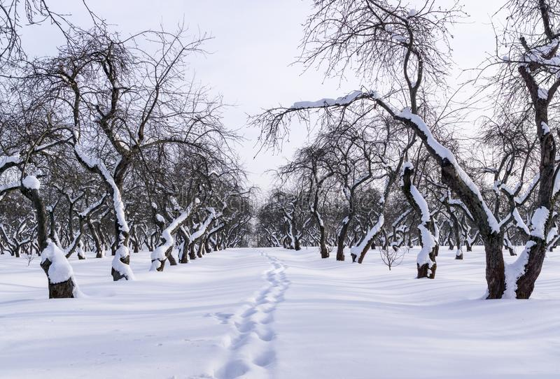 Pomar no inverno fotografia de stock