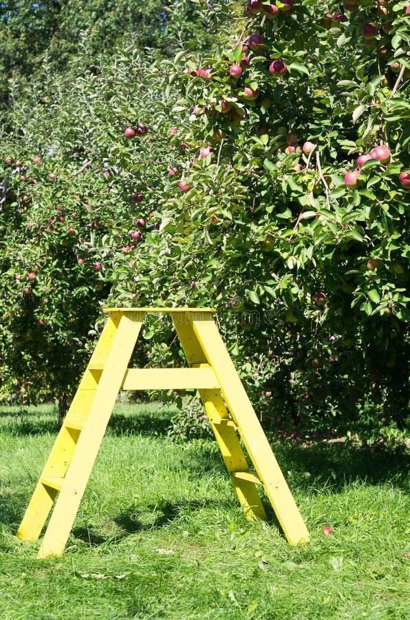 Pomar verde com a escada de madeira amarela imagem de stock royalty free