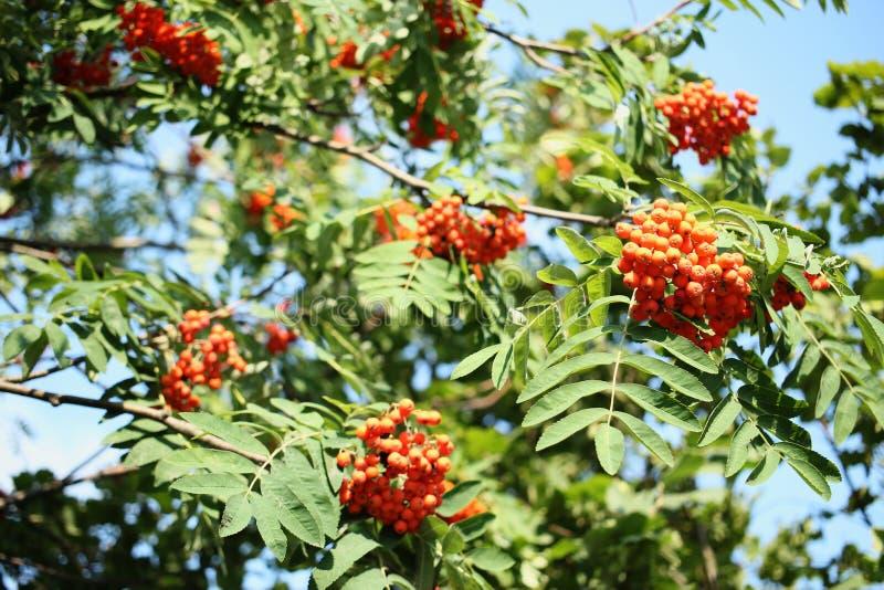 Pomarańczowe jagody rowan na gałąź jujitsu Ptasi jedzenie obraz royalty free