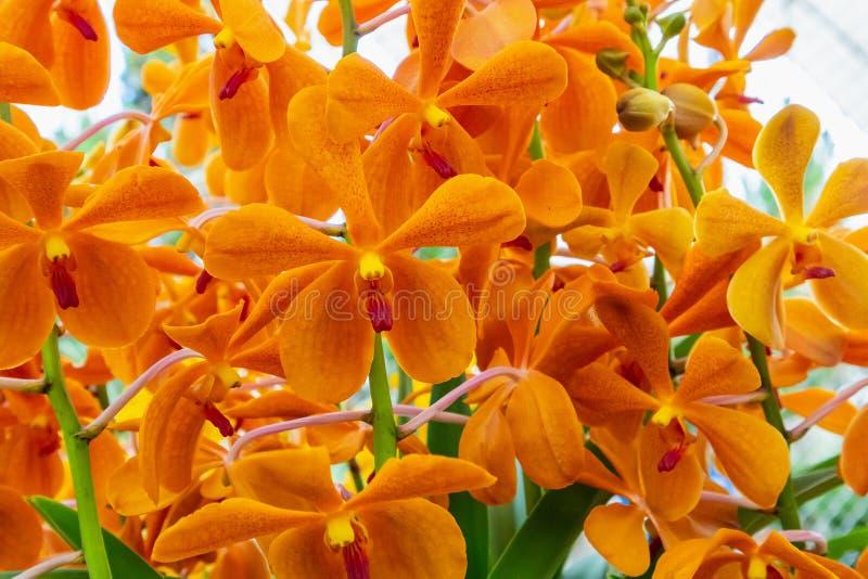 Pomarańczowi koloru Vanda orchidei kwiaty obraz royalty free