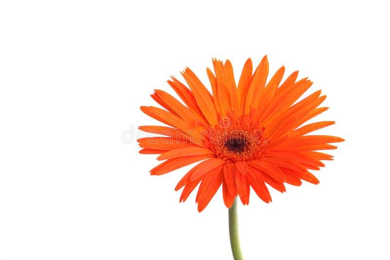 Pomarańczowy gerbera kwiat odizolowywający w białym tle zdjęcia stock