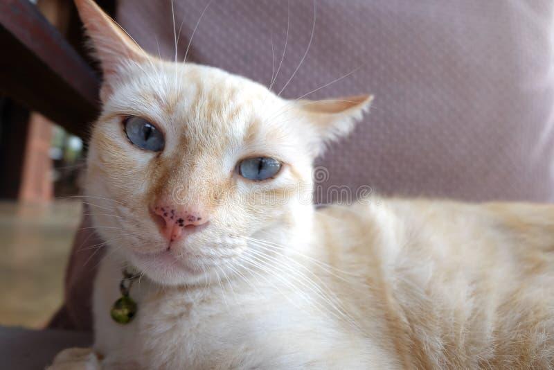 Pomarańczowy imbirowy tabby kot kłaść na drewnianym z poważną śmieszną twarzą od Thailand zdjęcia royalty free