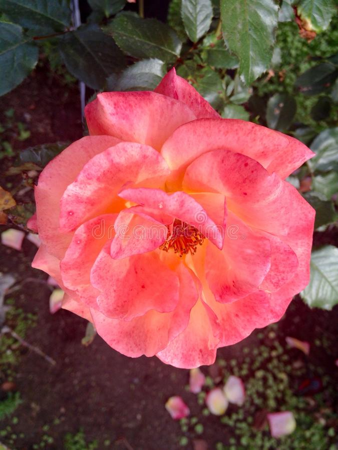 Pomarańcz menchii róża bardzo zdjęcie stock
