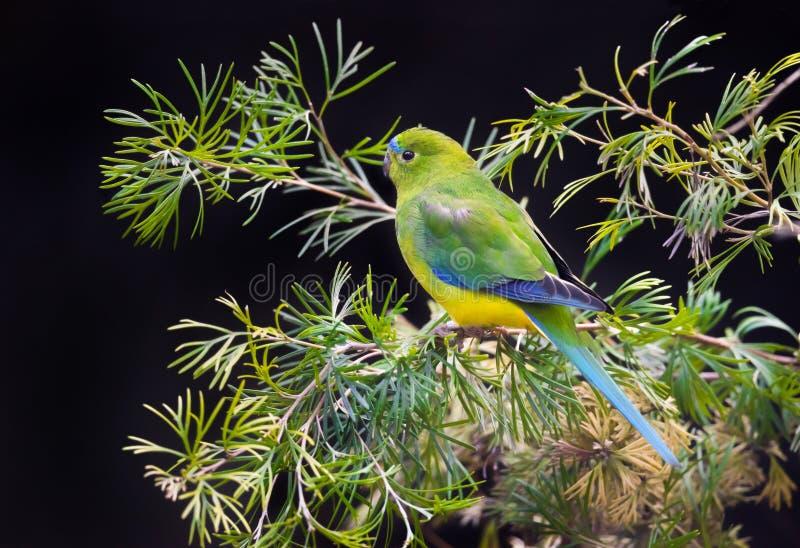 Pomarańcze Bellied papuga Krytycznie Zagrażający ptak obrazy royalty free