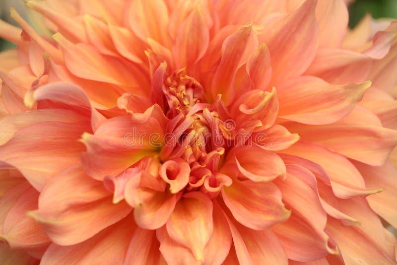 pomarańcze dahlię obrazy stock