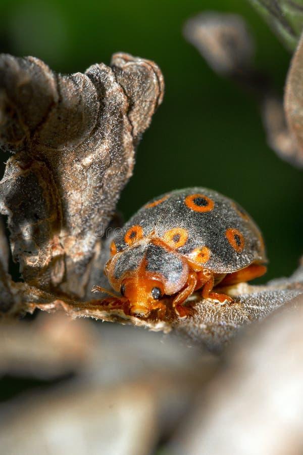Pomarańcze dostrzegająca biedronka zdjęcia stock