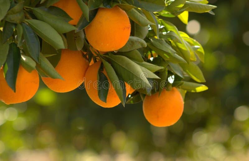 Pomarańcze, gałąź pomarańczowy drzewo zdjęcia stock