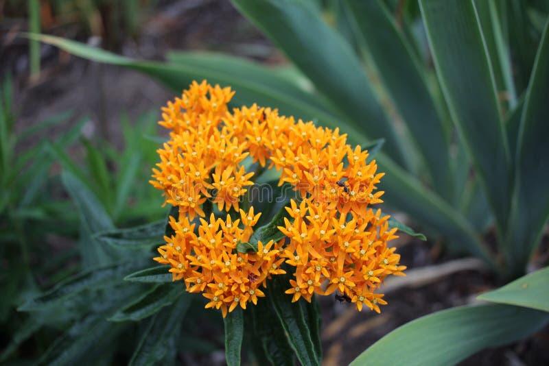 Pomarańcze gwiazda kształtujący kwiaty fotografia royalty free
