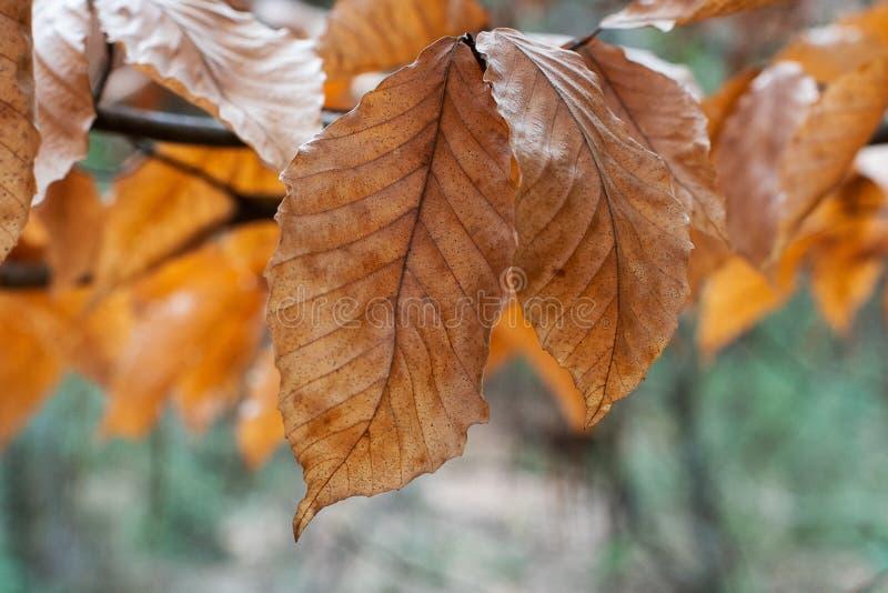 Pomarańcze i brązu jesieni liście Nasłoneczneni z Bokeh lasem fotografia royalty free