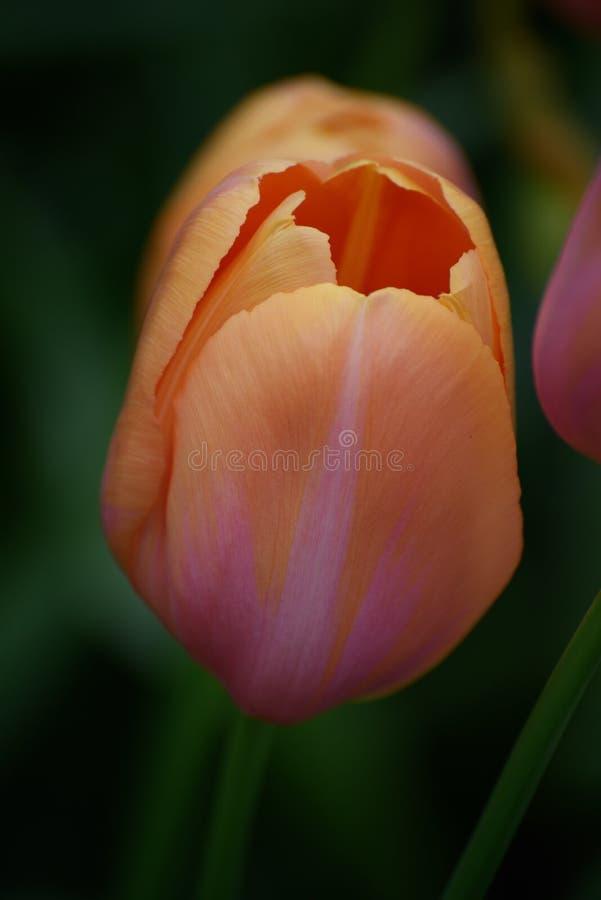 Pomarańcze i menchia tulipan właśnie otwieramy w wiośnie w Holandia fotografia stock