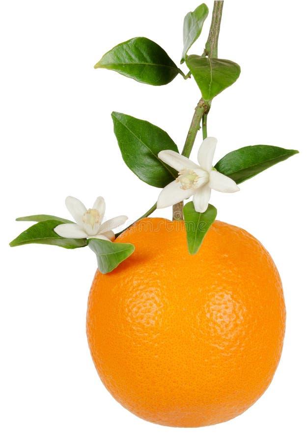 Pomarańcze i okwitnięcie zdjęcia royalty free
