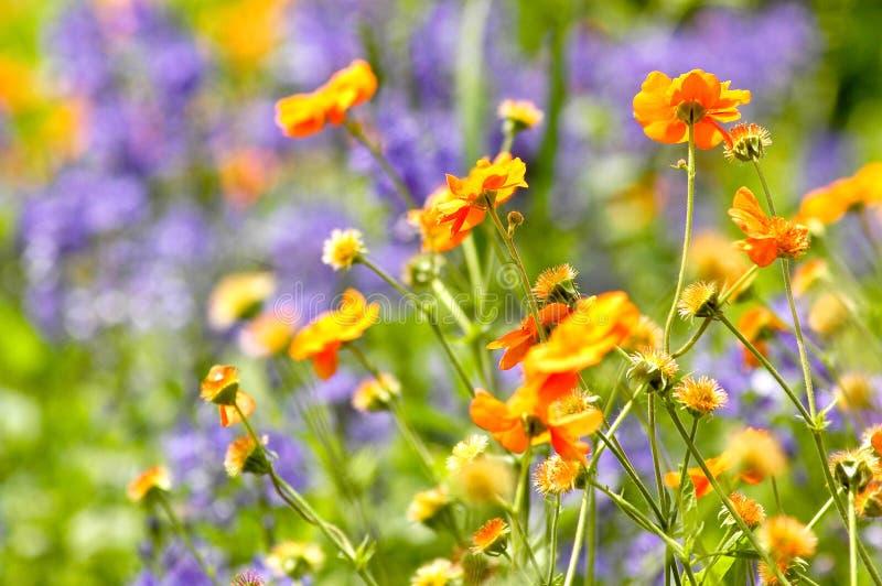 Pomarańcze i purpur kwiaty obraz stock