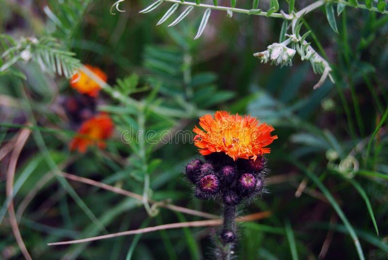 Pomarańcze i purpura kwiat obrazy royalty free