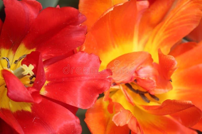 Pomarańcze, kolor żółty i Czerwoni tulipany, obraz stock