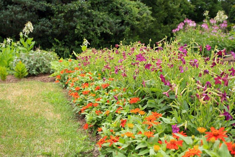 pomarańcze kwiaty i purpur trąbki w ogródzie obrazy royalty free