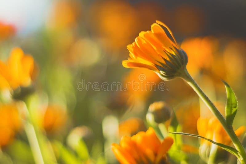 Pomarańcze Kwitnie nagietka w ogródzie obraz stock