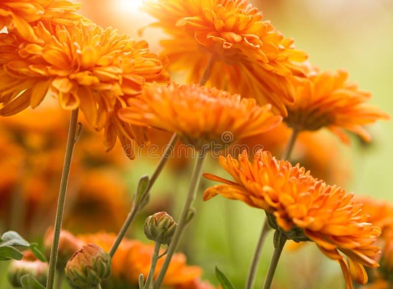 Pomarańcze kwitnie przy latem obrazy royalty free