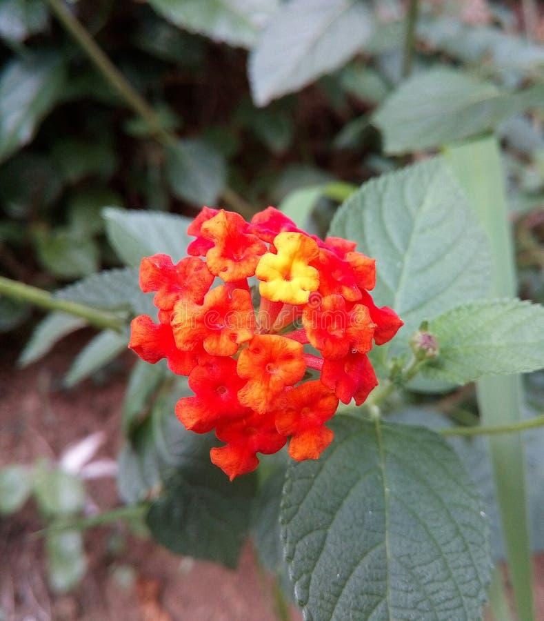 Pomarańcze kwitnie sri lankę obrazy stock