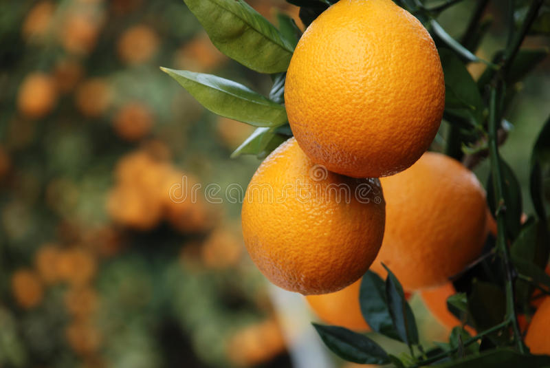 Pomarańcze Na Drzewie zdjęcia royalty free