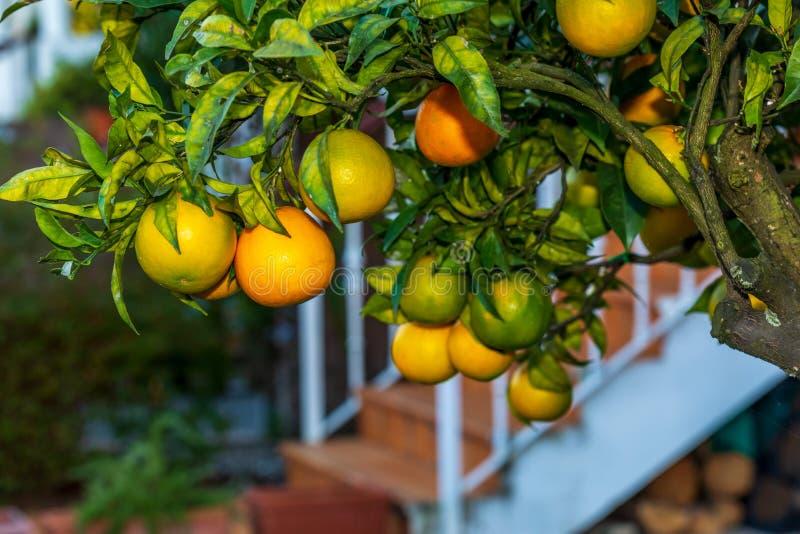 Pomarańcze na drzewnym pomarańczowym drzewie obrazy royalty free