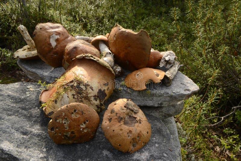 Pomarańcze ono rozrasta się w Karelia fotografia stock