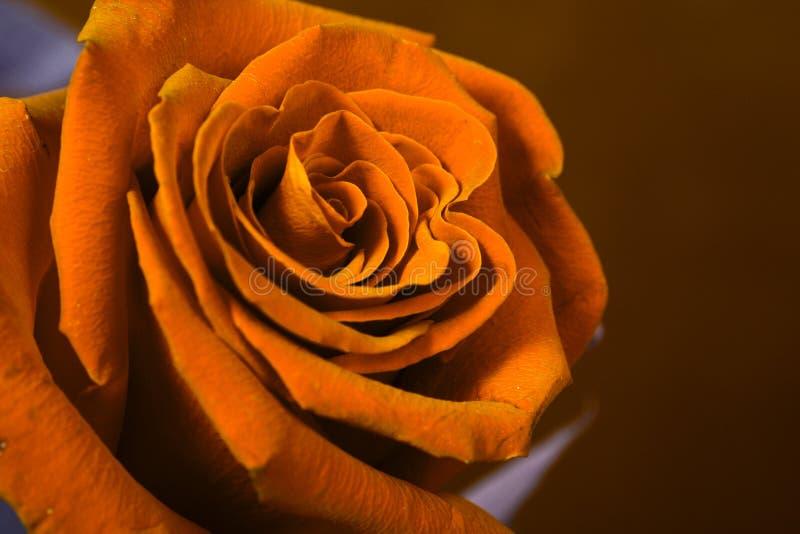 pomarańcze pączkowa rose obraz royalty free