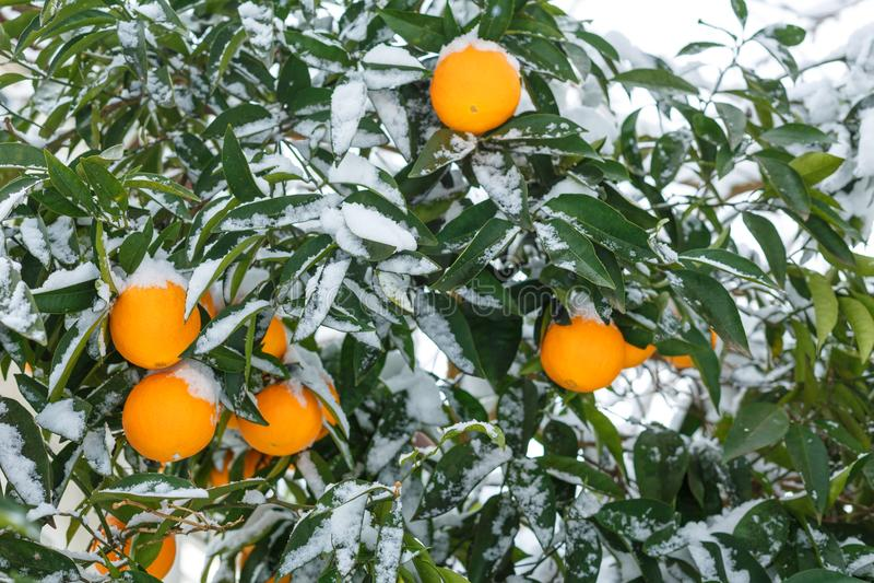 Pomarańcze pod śniegiem cytrus owoc, pomarańczowy drzewo w śniegu obrazy royalty free