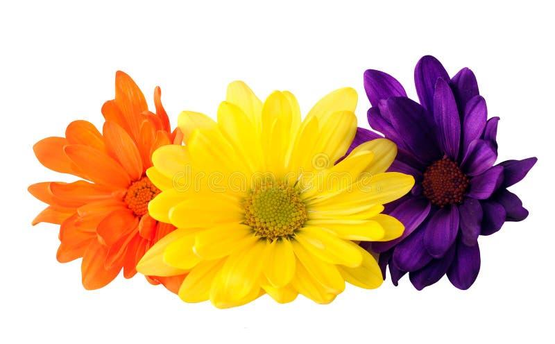 Pomarańcze, purpur i kolor żółty stokrotki kwiaty, zdjęcia stock