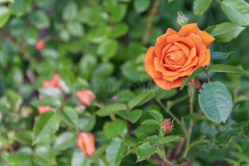 Pomarańcze róża na krzaku, odgórny widok obraz stock