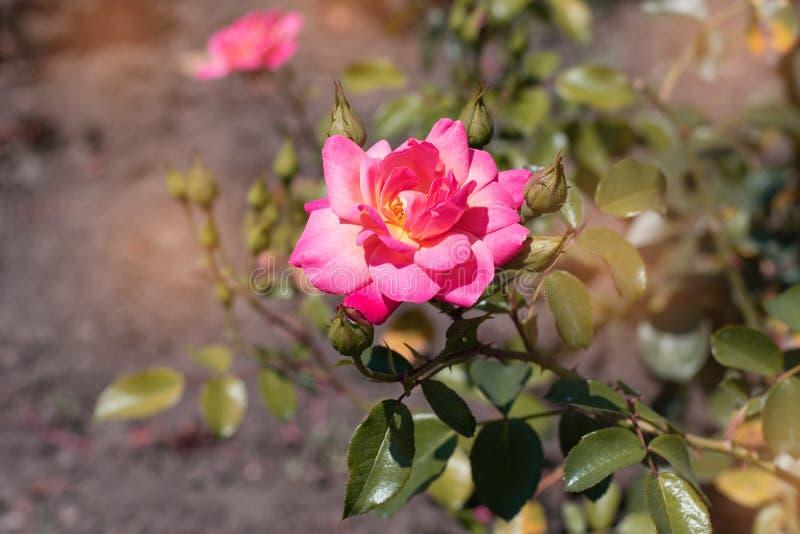 Pomarańcze róża na tle zieleń park Pomarańcze róży zbliżenie na krzaku w parku fotografia stock
