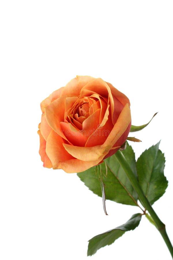 Pomarańcze róża odizolowywająca na bielu zdjęcia royalty free