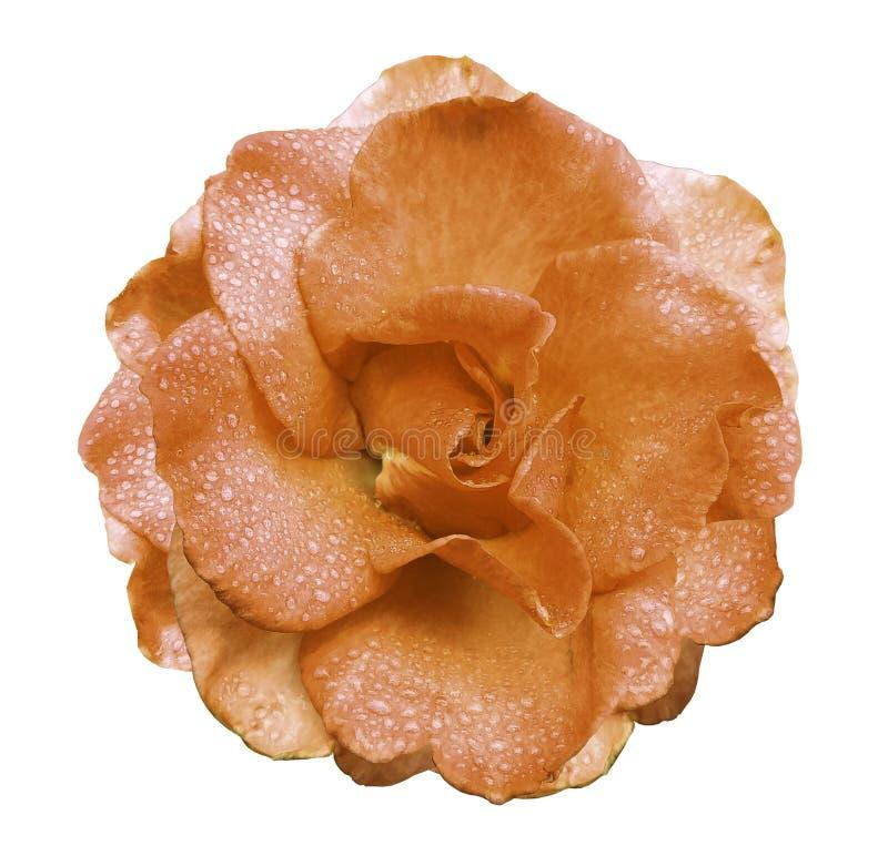 Pomarańcze róży kwiat na białym tle z ścinek ścieżką żadny cienie Wzrastał z kroplami woda na płatkach Closeu fotografia stock
