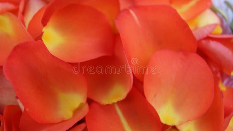 Pomarańcze róży ` s płatki obraz stock