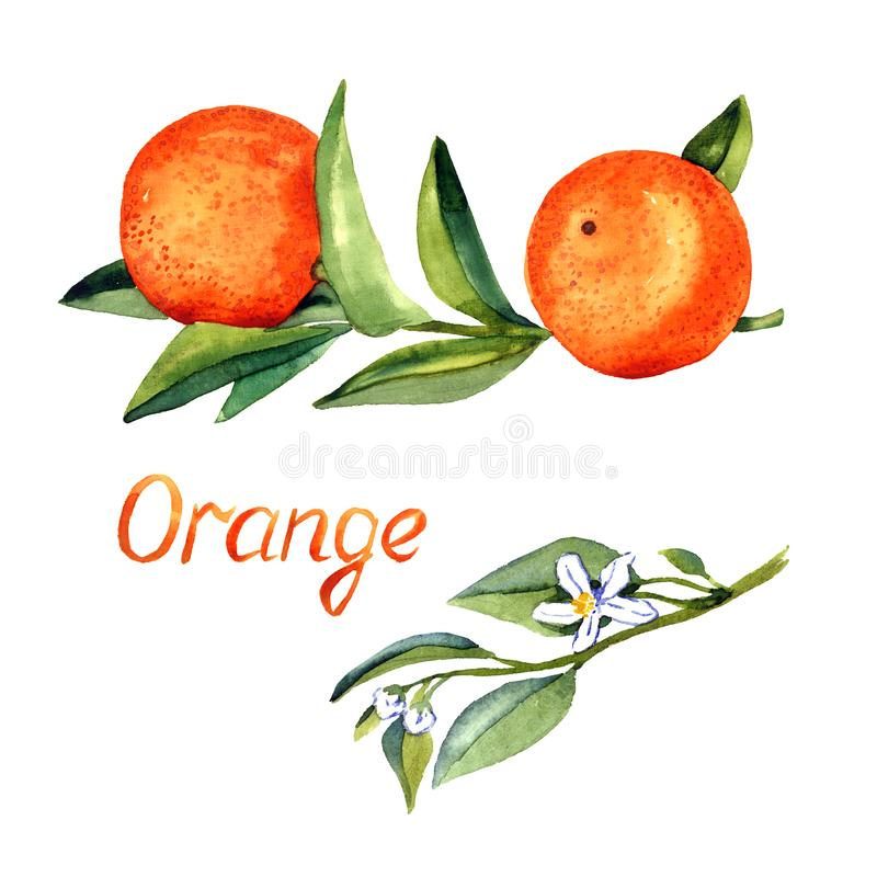 Pomarańcze rozgałęzia się z owoc i liśćmi, gałąź z kwiatami royalty ilustracja