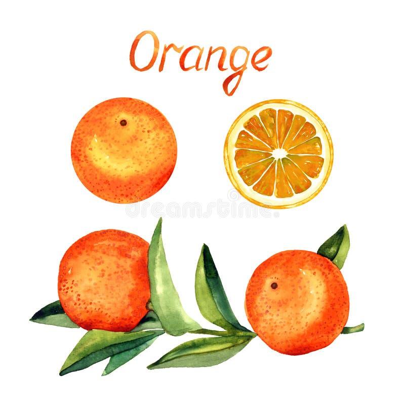 Pomarańcze rozgałęzia się z owoc, liści, owoc i cięcia połówką, royalty ilustracja