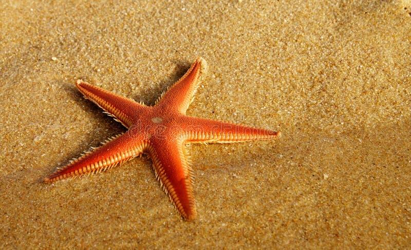 Pomarańcze rozgwiazdy Grzebieniowa perspektywa przy plażą - Astropecten sp obrazy stock