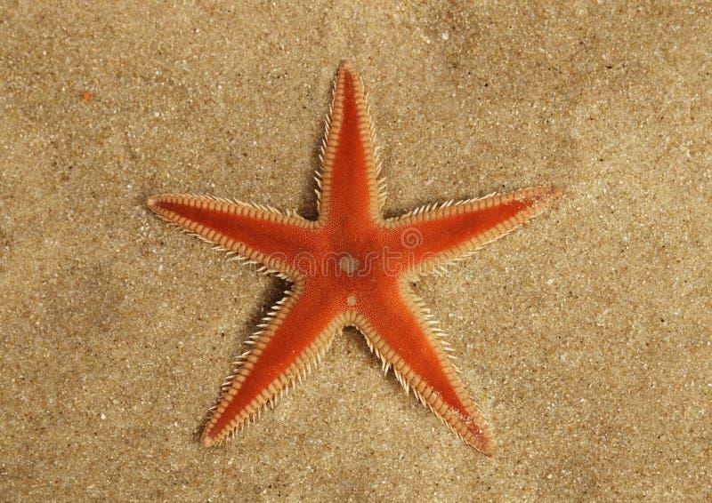 Pomarańcze rozgwiazdy Grzebieniowy przegląd na piasku - Astropecten sp fotografia stock