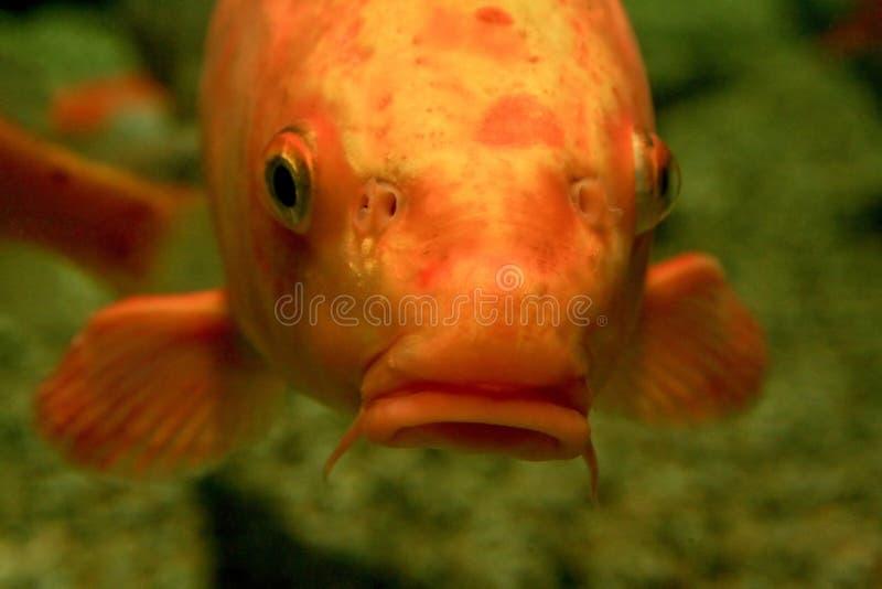 pomarańcze ryb zdjęcie royalty free